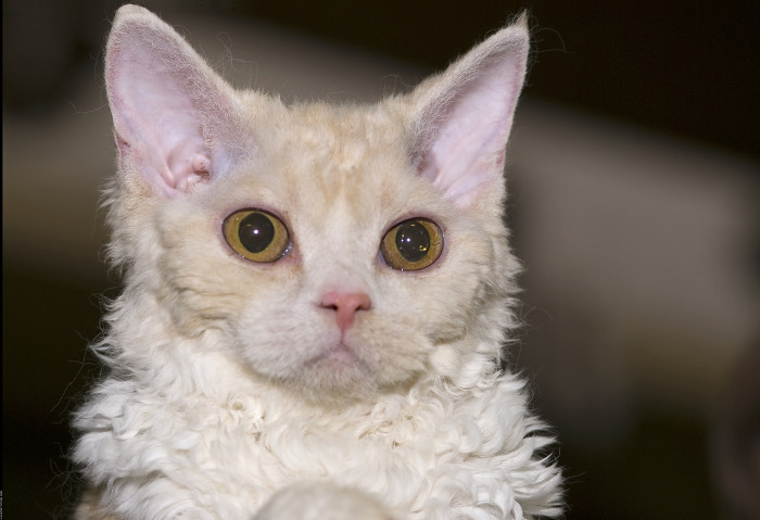 Selkirk Rex Kittens for Sale  Cats for Adoption  Sweetie Kitty  2018