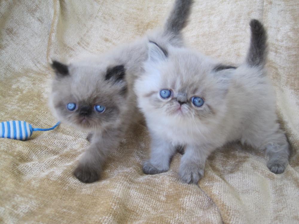All White Kittens