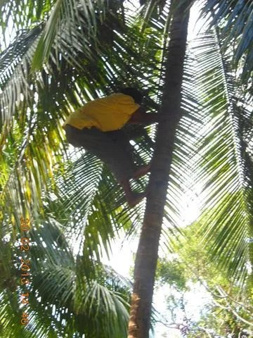 Prospect Plantation - Coconut Climber