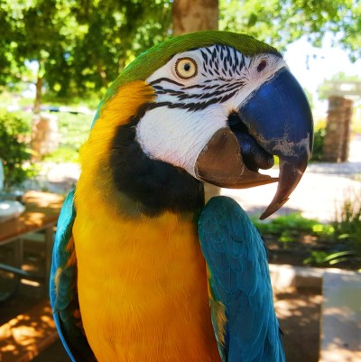 Buddy-the-Parrot