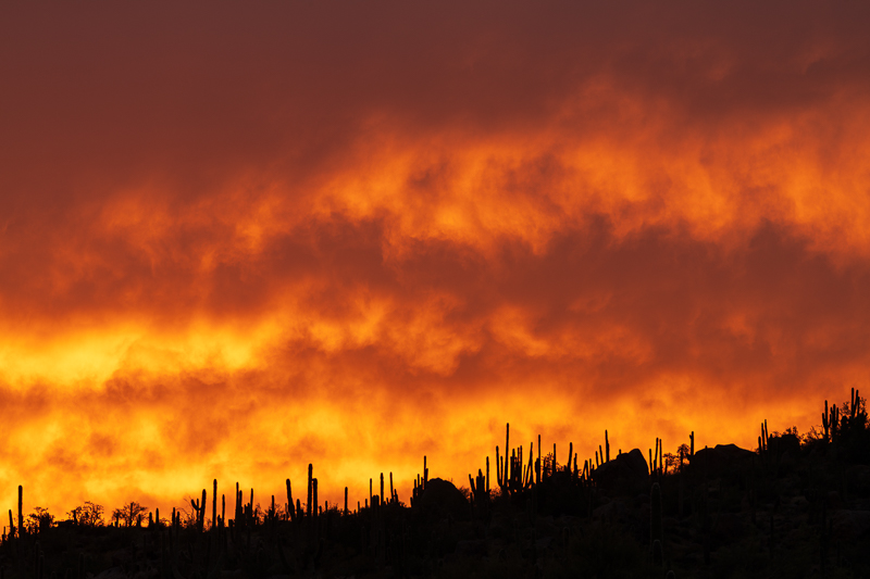 Saguaros on Fire