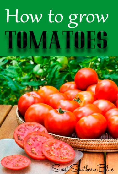how to grow tomatoes sweet southern blue. Black Bedroom Furniture Sets. Home Design Ideas