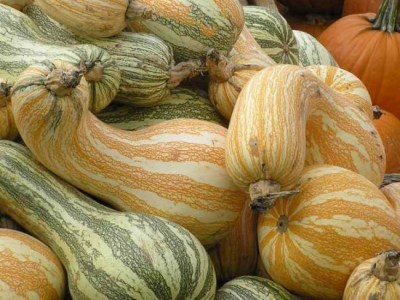 Canning, Cooking, or Jack-o-Lantern? Learn how to select the best pumpkins and gourds with this buying guide. #Canning #Cooking #JackoLantern #Pumpkin #Baking #Food #Halloween #Thanksgiving #Pie #PumpkinPie #Dessert #Shopping #BuyingGuide #HowTo - Cushaw