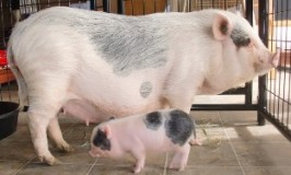 Mini Pigs / Teacup Pigs All You Need To Know: The Essential Guide