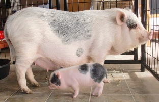 Adorable Celebrity Pigs Priscilla And Poppleton Might Make You Cutie Baby Teacup Pigscute