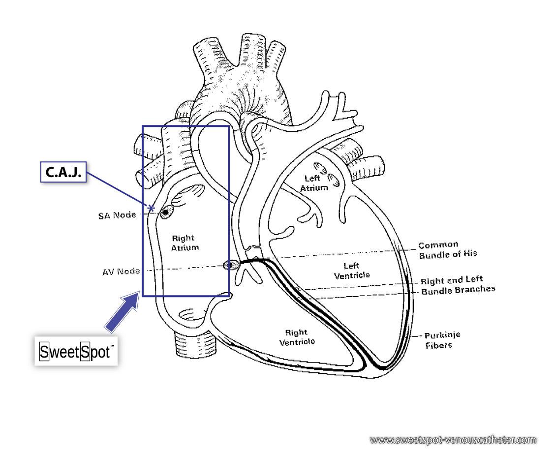 Circular Diagram Cardiac Cycle