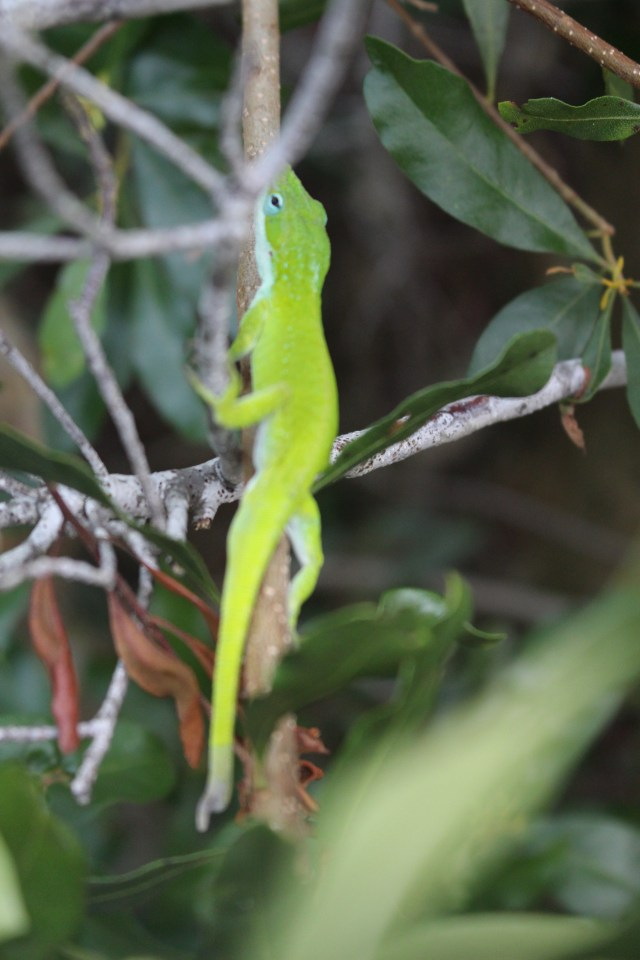 Carolina Anole Down by the Dock