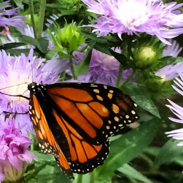Monarch Butterfly in the Butterfly House
