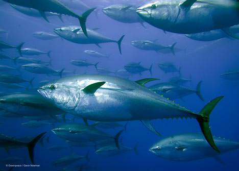 Mighty bluefin tuna on the move...