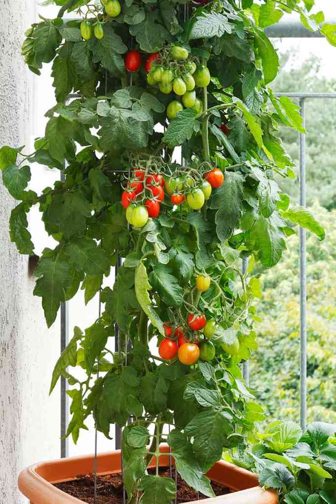 The possibilities for backyard vegetable gardening starting with this cherry tomato one-pot plot are endless. Information and guidance on gardening are available from Penna. Horticultural Society which also offers prizes for backyard and community gardeners
