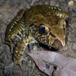 giant-barred-frog