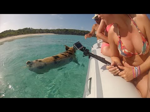 Bahamas' swimming pigs found dead 'after tourists give them rum'
