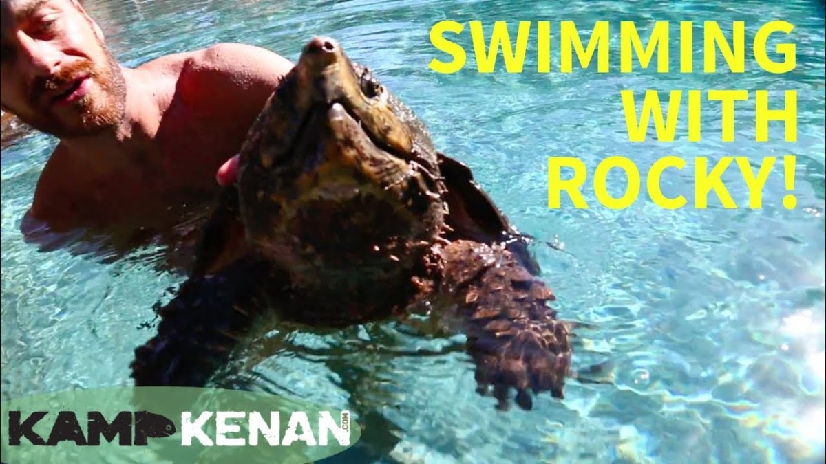 Swimming with an Alligator Snapping Turtle | Swimmer's Daily