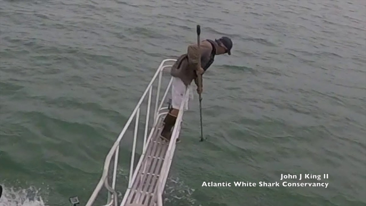 Video Of A Great White Breaching Ocean Surface To Try to Eat Researcher's Feet