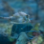 Cowfish at Wonders of Wildlife Museum