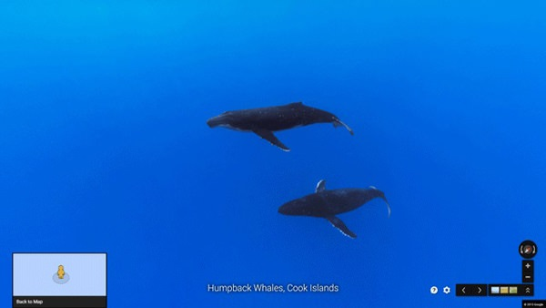 Humpback whales in Cook Islands