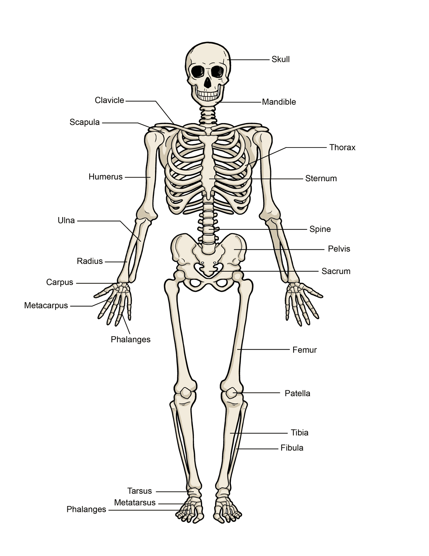 hight resolution of human skeleton diagram