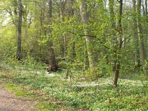 Finns det något vackrare än utslagen bokskog med en matta av vitsippor?