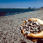 Beach Littered with Mussels