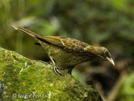 Le moqueur grivotte est rare sur Saint-Martin, mais peut être vu dans la forêt sur le Pic Paradis. Photo par Binkie van Es.