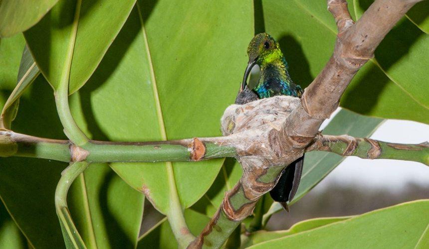 Green-throated-Carib