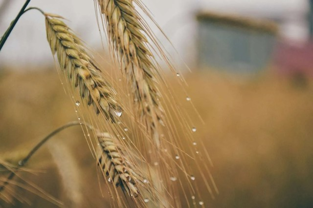 grain_