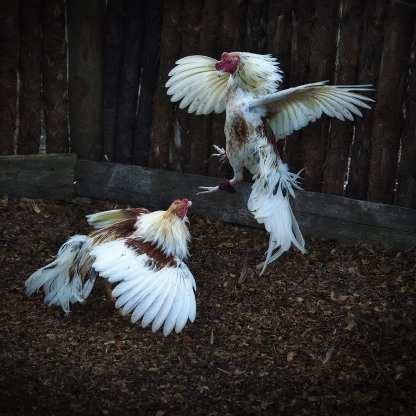 Cock Fight, Hondones, Matanzas ©Chip Cooper
