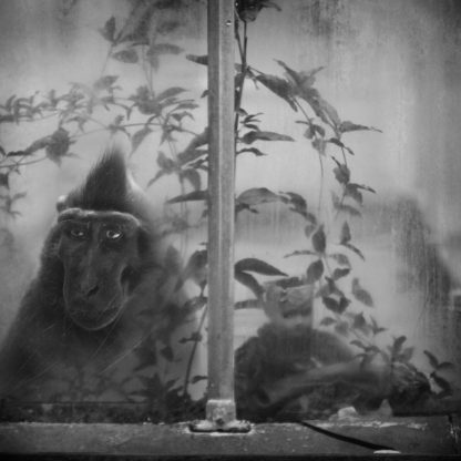 Black Crested Macaque, Antwerpen, Belgium, 2011 ©Anne Berry RAW 4288 x 2848