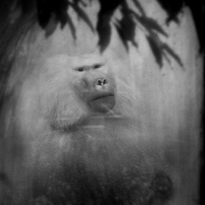 Baboon, Zoo Antwerpen ©Anne Berry