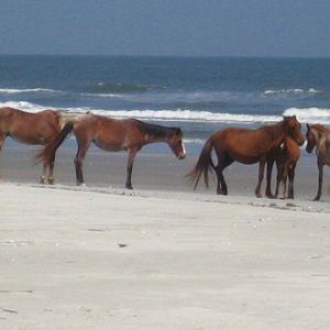 Horse Herd at the Beach Cumberland Island ©Wikipedia