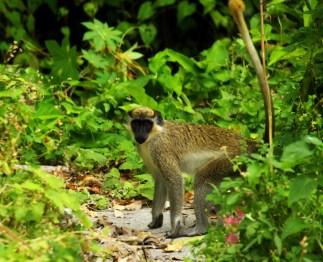 Äffchen auf Nevis