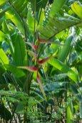 pflanzen-suriname-1397