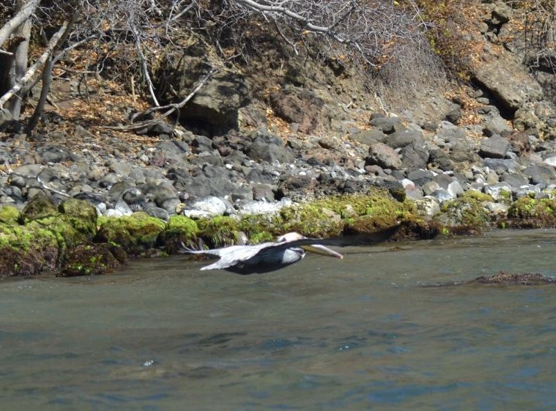 Flyvende Pelikan Chatham Bay