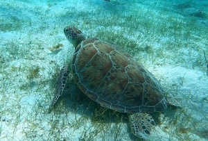 Tobago Cays skildpadde