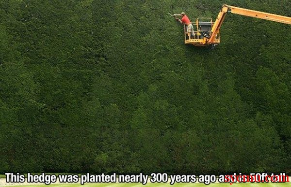largest hedge in the world being trimmed