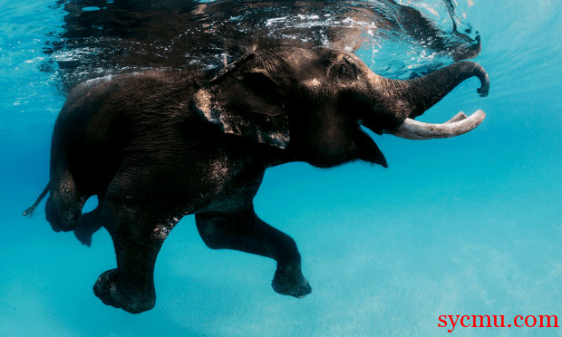 Cute elephant swimming