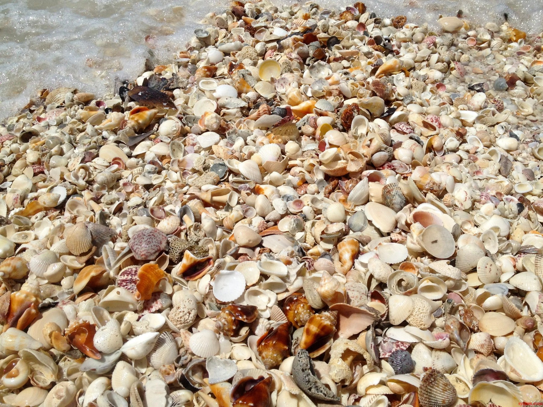Sanibel Island Shells: Seashells At Sanibel Island, Florida