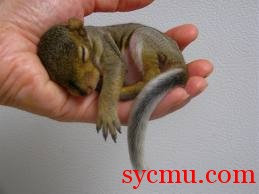 Baby Squirrel asleep in human hand