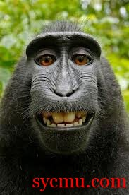 Laughing Black Macaques