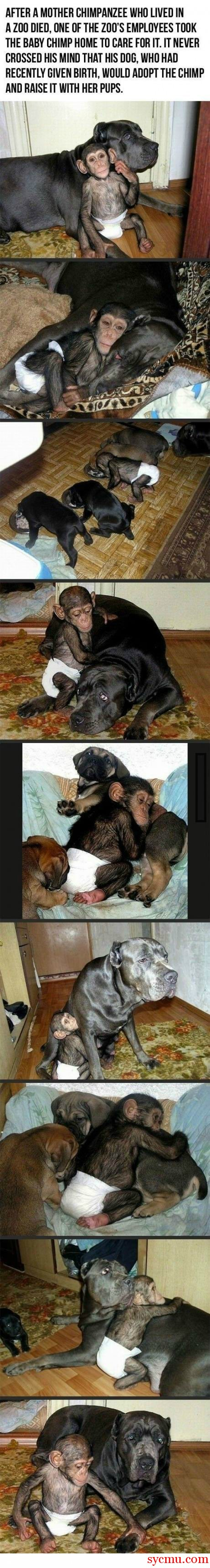 Dog adopts Chimp