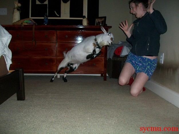 Attacked by a Goat