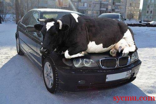 Cow on car hood