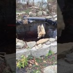 Cat Trying to Catch Goldfish Over Frozen Pond