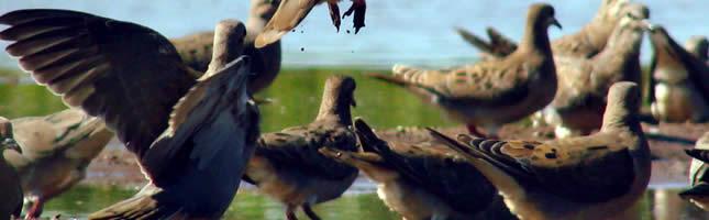 Cordoba dove hunting