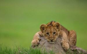 lion-cub-cute_tn2