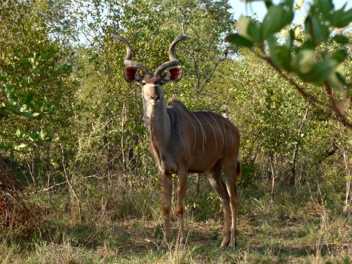 En ståtlig Kudu