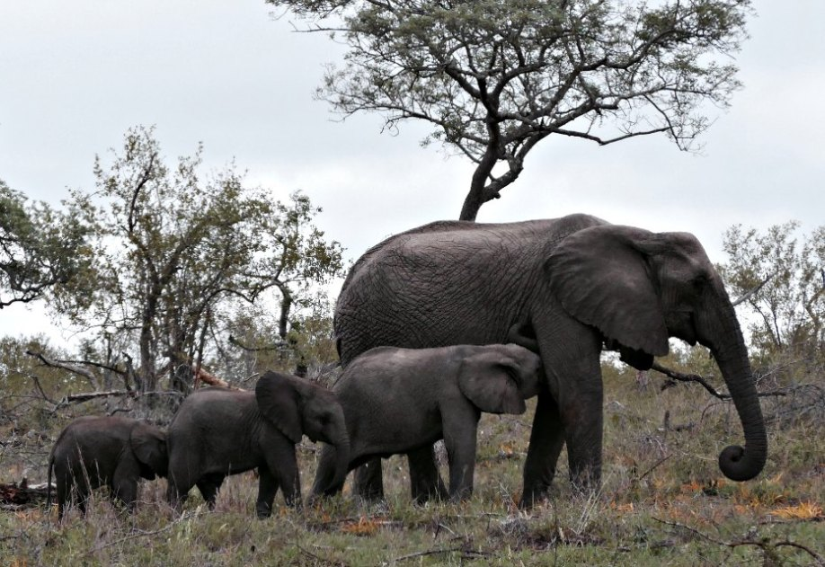 elefanter på rad