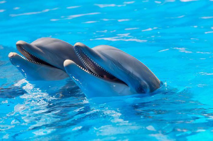 دوره حاملگی دلفین