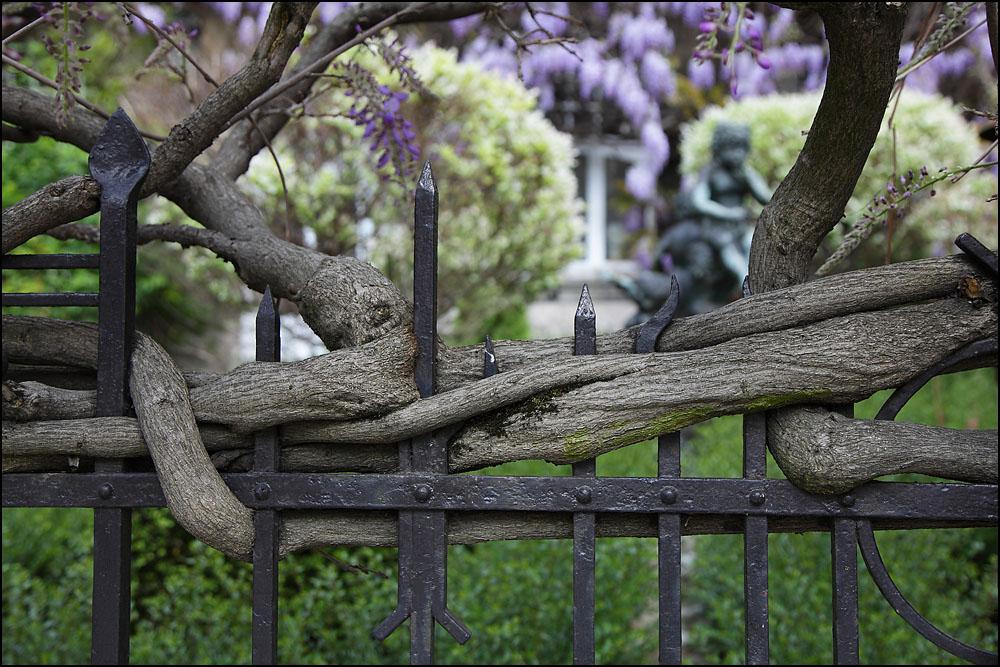 Un vieux tronc noueux désormais lié à sa clôture pour l'éternité