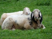 Kuschelige Schafe